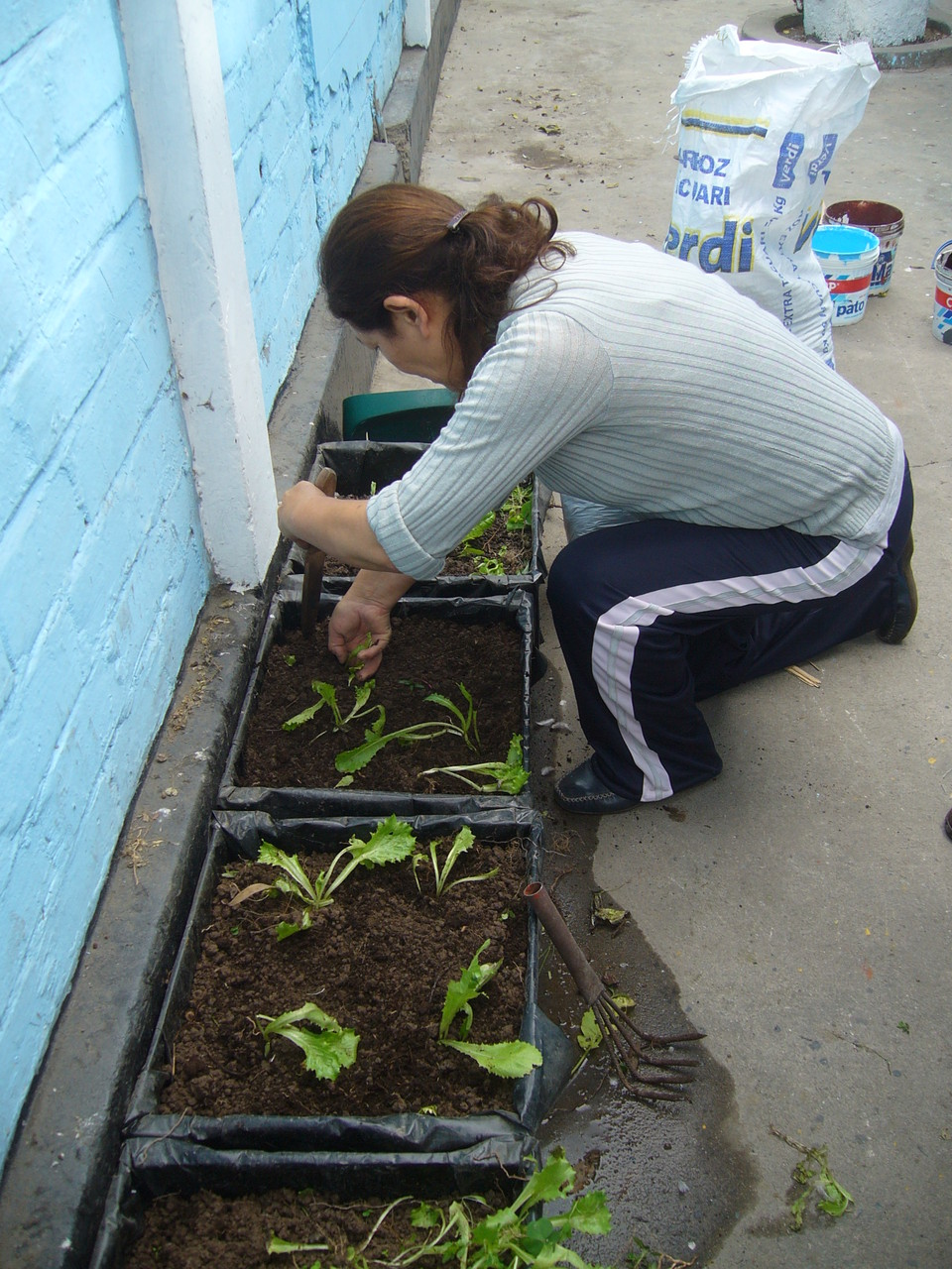 Trasplantando las plantas de lechugas
