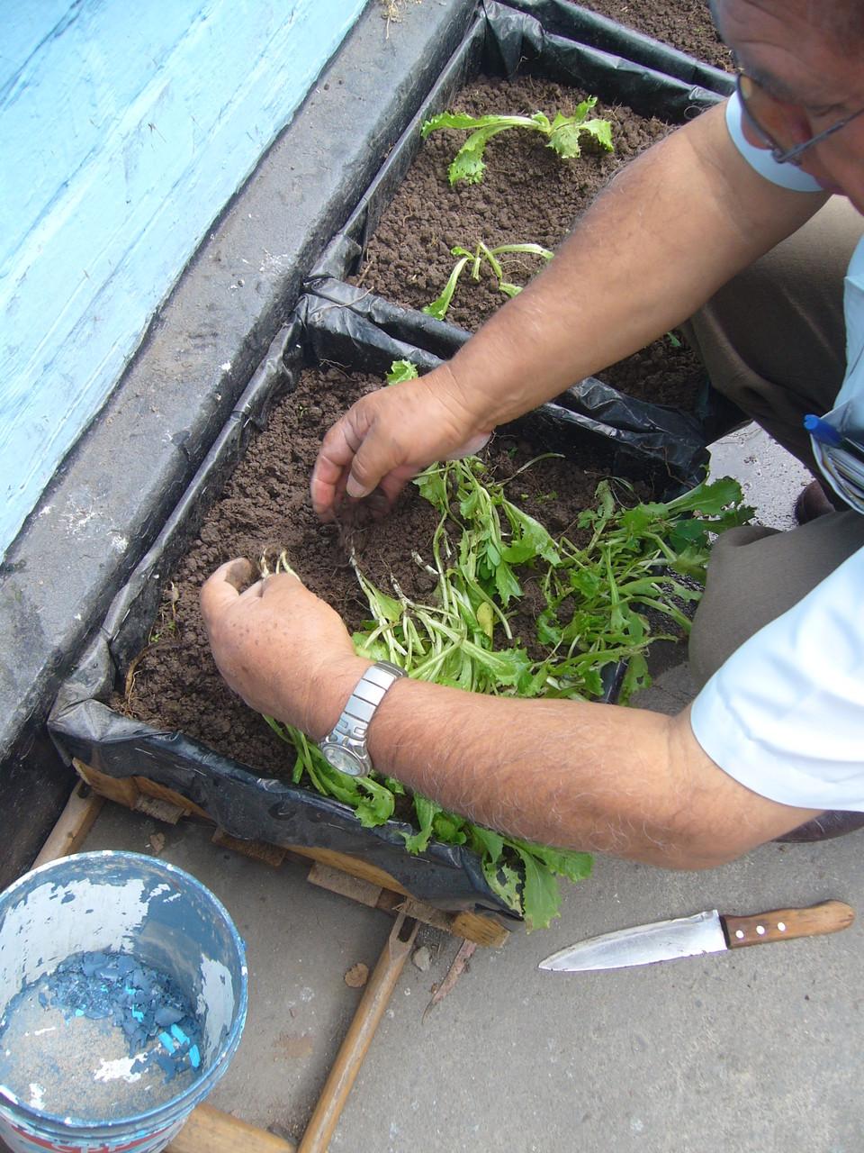 Escogiendo las plantas de lechuga para el trasplante