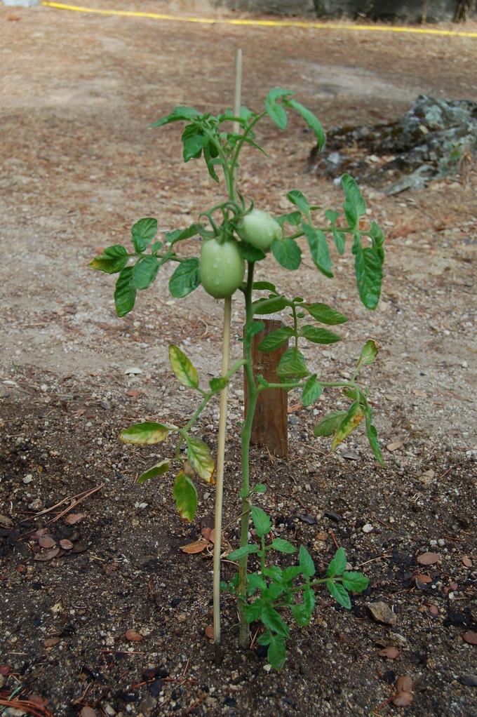 Tomate Pera  - Agosto 2011