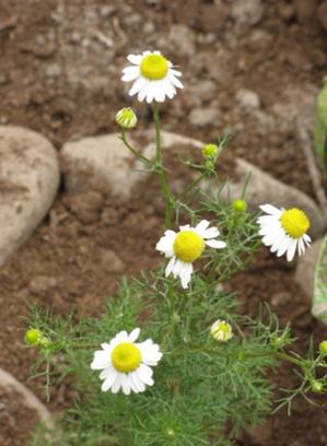 Una bella planta de manzanilla embellece el Biohuerto Educativo de Vilcabamba (Cusco - Perú)