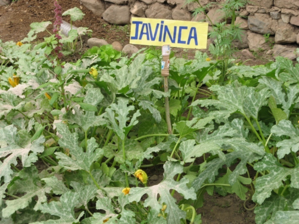 La janinca, especie que también crece en las alturas del Perú, al interior del Biohuerto Educativo (Cusco - Perú)