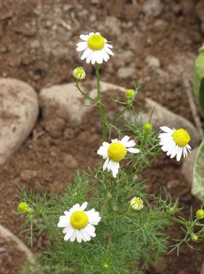 La manzanilla, especie que juega un rol preponderante en el Perú, en un biohuerto de Vilcabamba (Cusco - Perú)