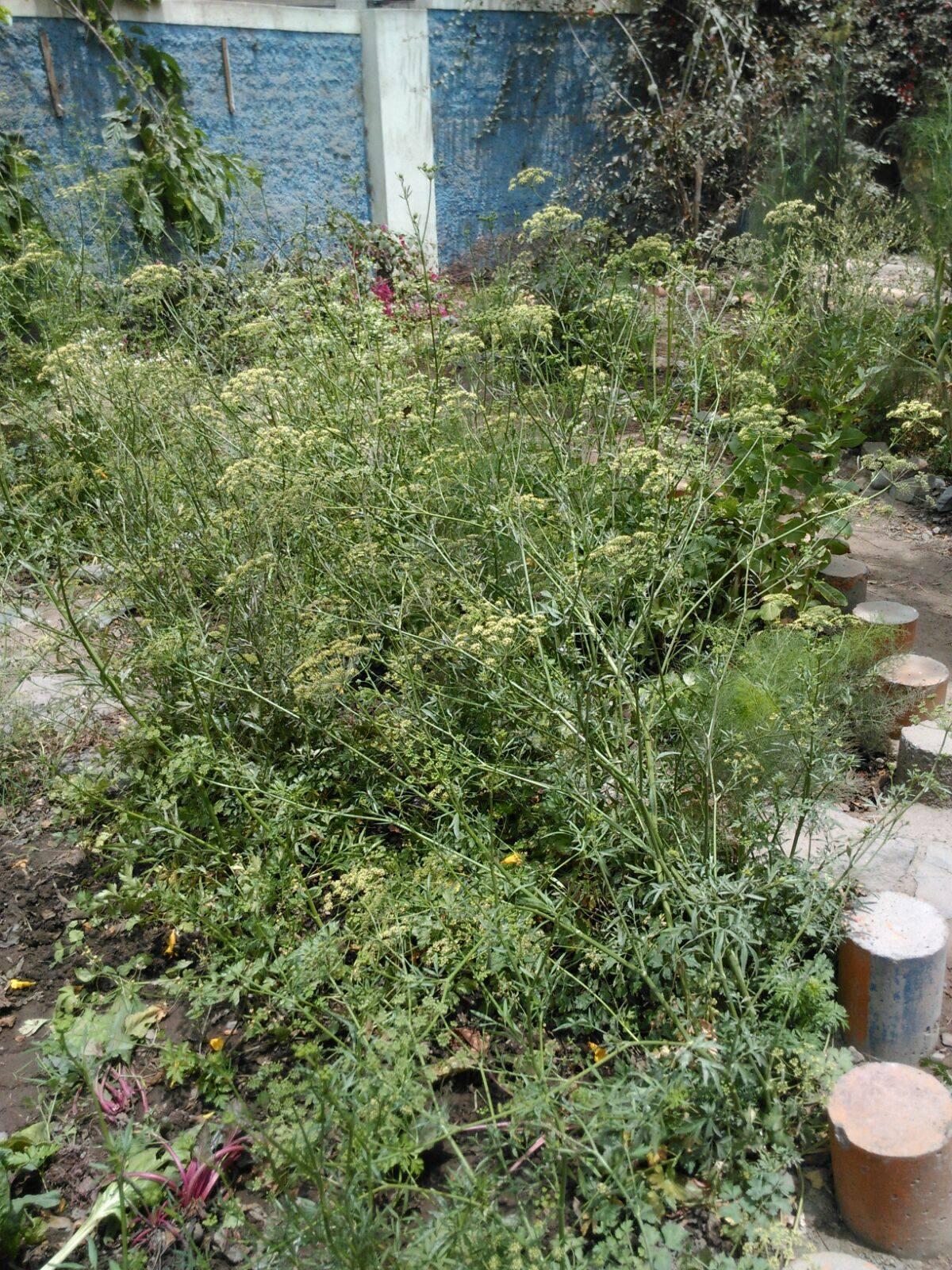 Abundantes semillas de cilantro