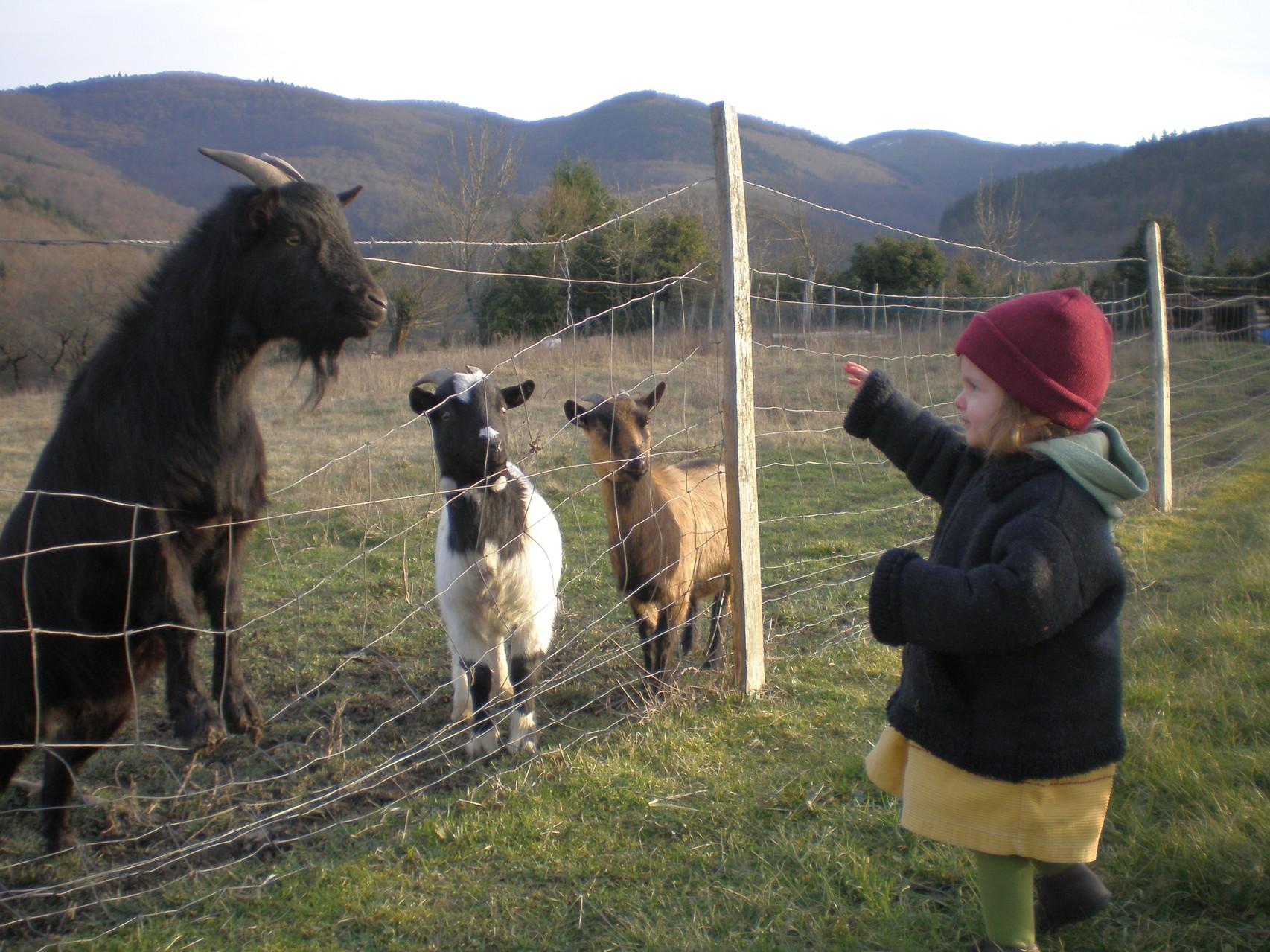 les chèvres,mais pas pour leur fromage