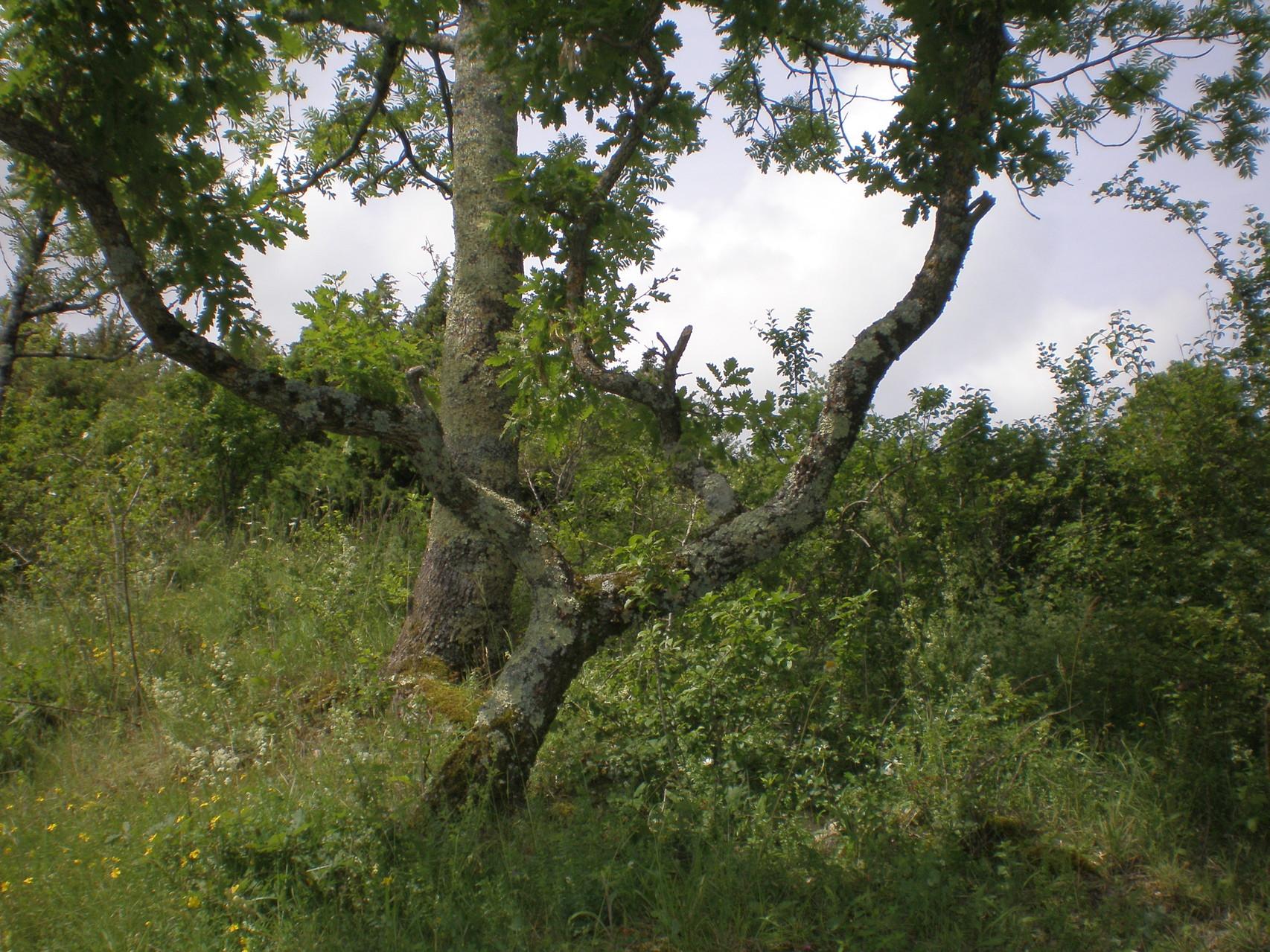 chêne tortueux