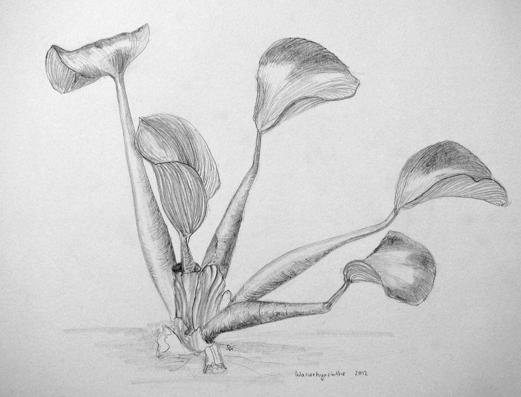 Wasserhyazinthe (Zeichenpapier, 30x40cm)