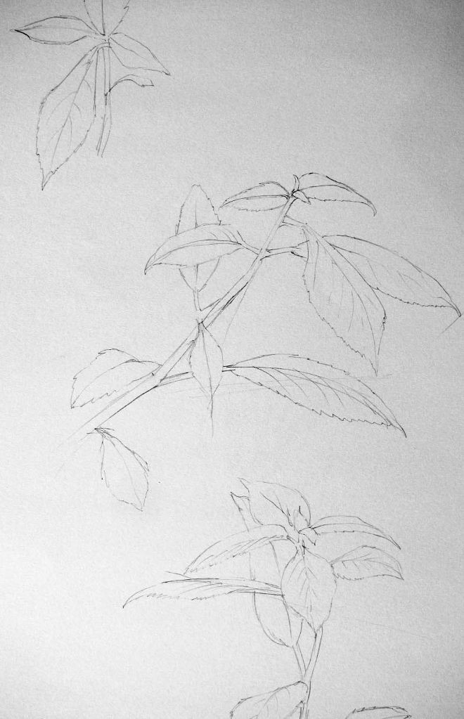 Pflanzenstudie I (Zeichenpapier, 30x40cm)
