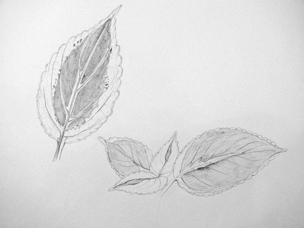 Pflanzenstudie II (Zeichenpapier, 30x40cm)