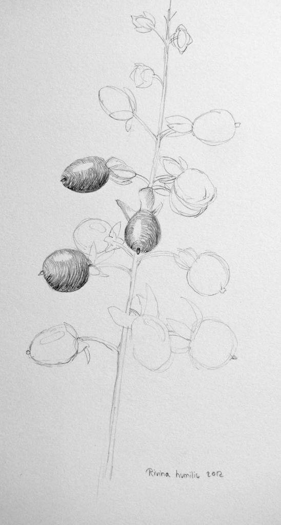 Rivina humilis (Zeichenpapier, 30x40cm)