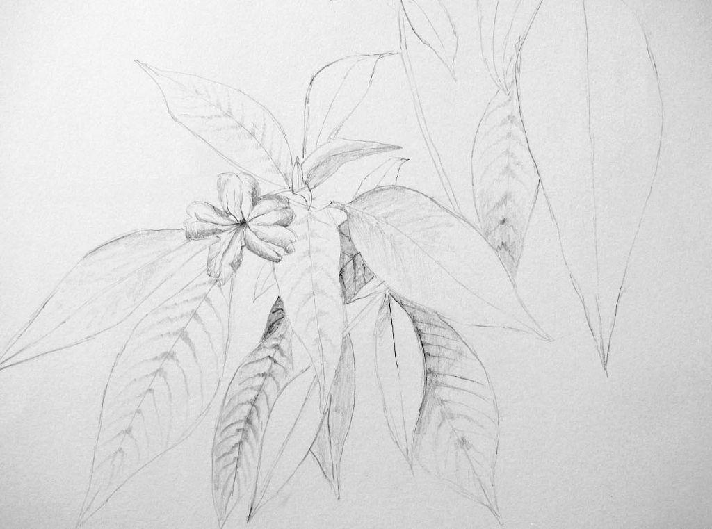 Pflanzenstudie IV (Zeichenpapier, 30x40cm)