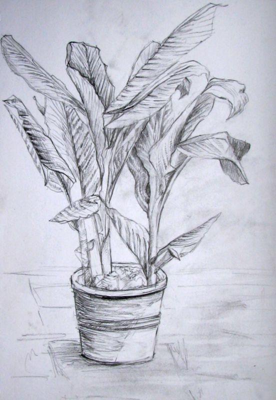 Bananenstaude im Topf (Zeichenpapier, 21x29cm)