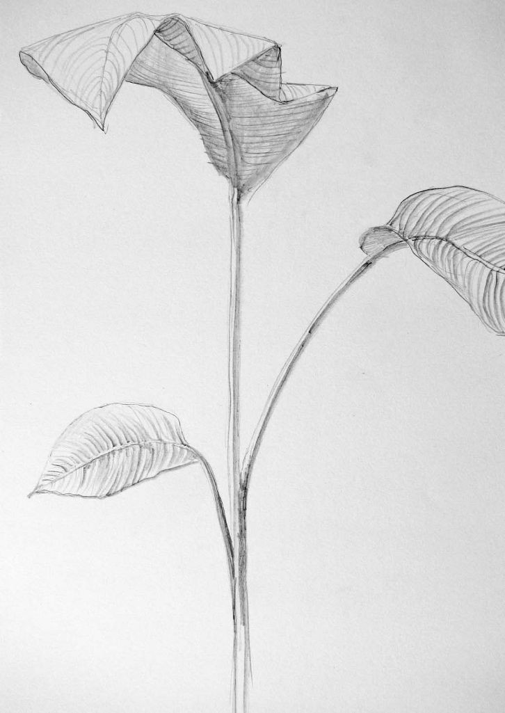 Bananenstaude (Zeichenpapier, 30x40cm)