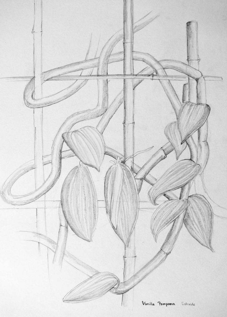 Vanilla pompona (Zeichenpapier, 30x40cm)