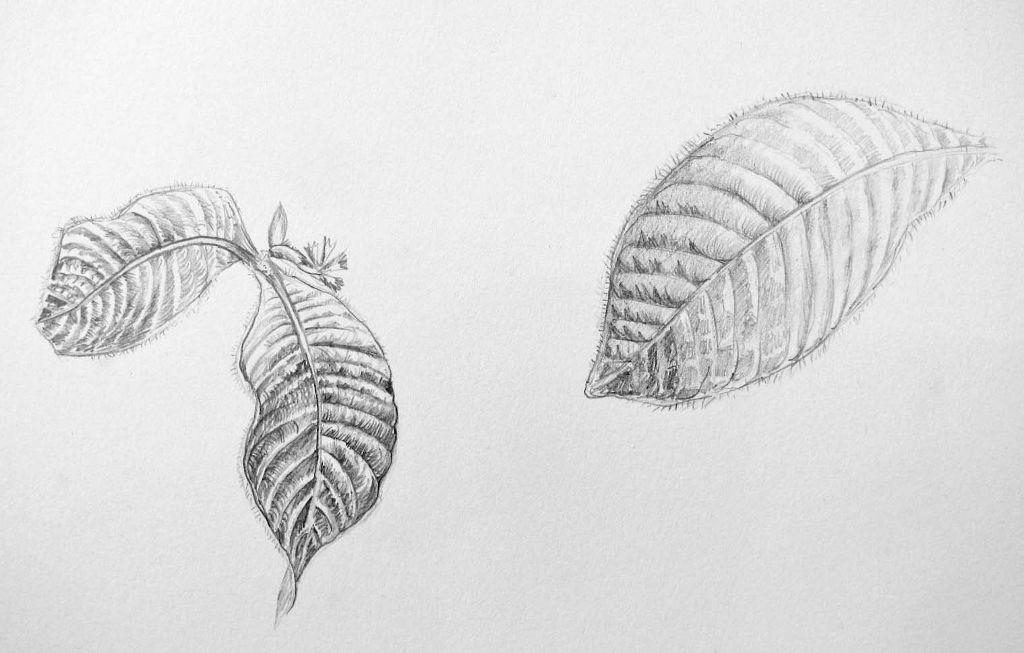 Pflanzenstudie III (Zeichenpapier, 30x40cm)