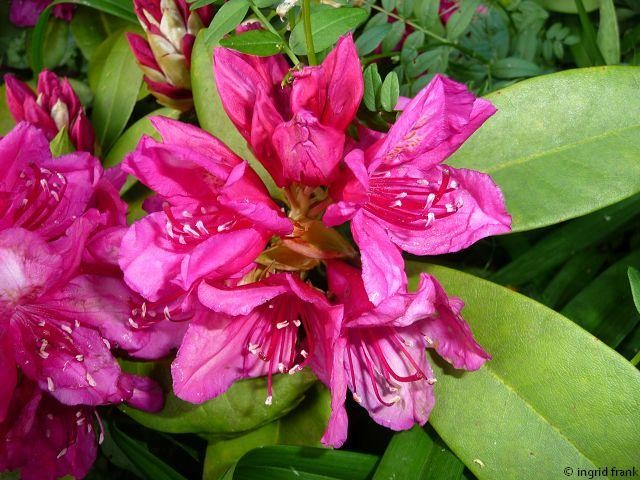 Rhododendron / Heidekrautgewächs