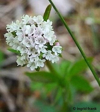 Valeriana dioica / Kleiner Baldrian (weibl. Blüte)    V-VI