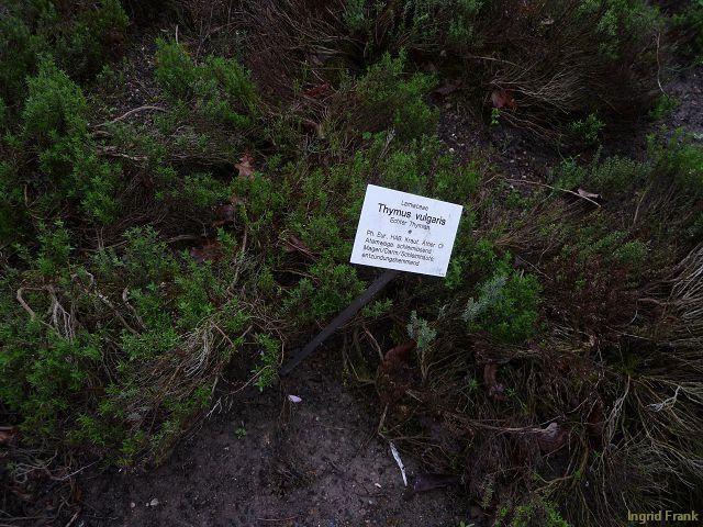 03.05.2010 - Apothekergarten Leipzig; Aufschrift:  Ph. Eur., HAB: Kraut, Äther. Öl  Atemwege: schleimlösend  Magen/Darm/Schleimhäute: entzündungshemmend