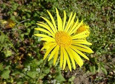 Doronicum plantagineum - Wegerich-Gämswurz