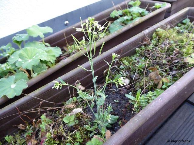 17.04.2018 - Arabidopsis thaliana / Acker-Schmalwand