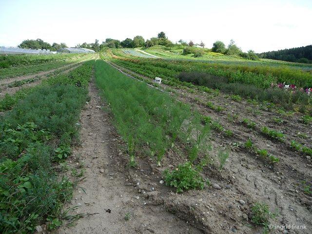 20.08.2017 - Anbau con Gemüse-Fenchel auf der Höri
