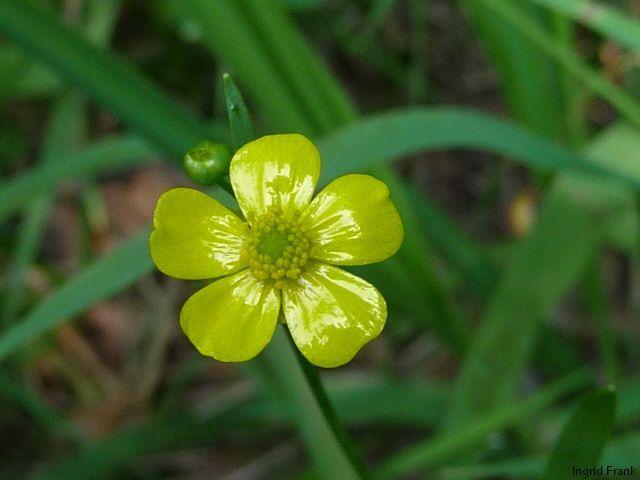17.06.2011 - Ranunculus flammula - Brennender Hahnenfuß
