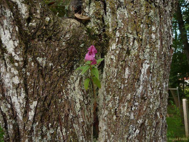 13.09.2011 - Dieses Drüsige Springkraut hat sich als Standort unseren alten Zwetschgenbaum ausgesucht