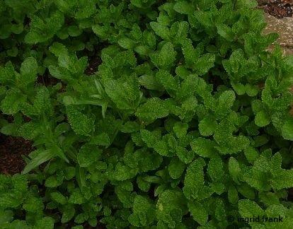 Mentha spicata / Grüne Minze (Botanischer Erlebnisgarten Altenburg)
