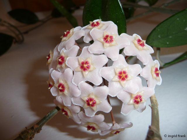 Hoya carnosa - Wachsblume