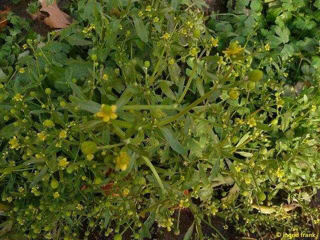 20.11.2011-Ranunculus sceleratus - Gift-Hahnenfuß