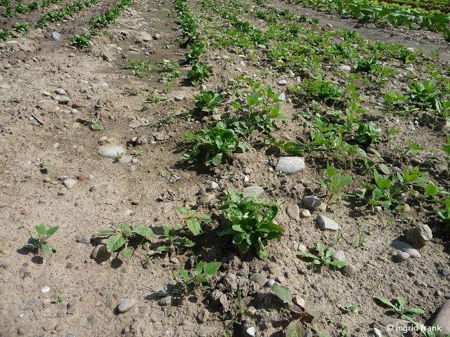 20.08.2017 - Anbau von Feldsalat auf der Höri