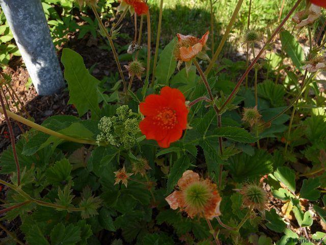 Geum coccineum - Rote Nelkenwurz (Familie: Rosengewächse)