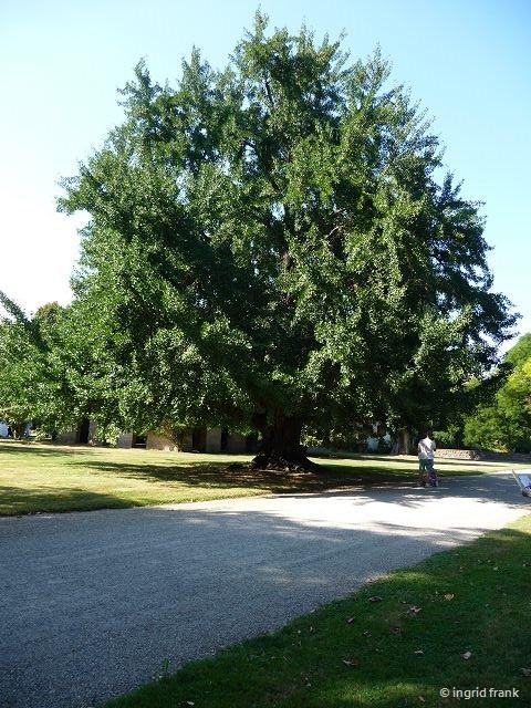 10.09.2016 - Parc de Schoppenwihr bei Colmar (weiblicher Ginkgo, etwa 150 Jahre alt)