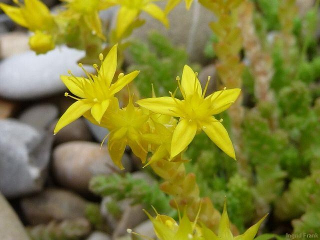 Mauerpfeffer Essbar sedum spec fetthenne mauerpfeffer herbarium ingrids webseite