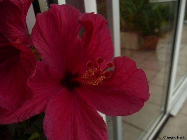11.11.2012 - Hibiscus rosa-sinensis, Chinesicher Rosen-Eibisch (Familie: Malvengewächse)