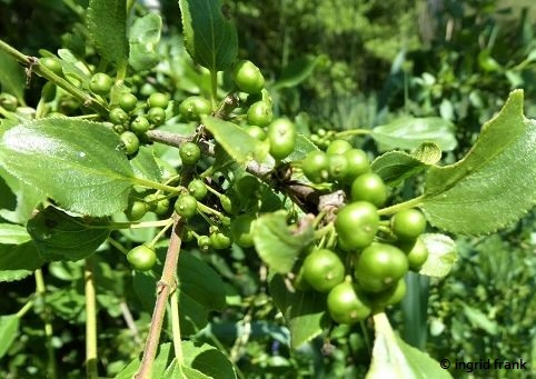 Rhamnus cathartica / Purgier-Kreuzdorn