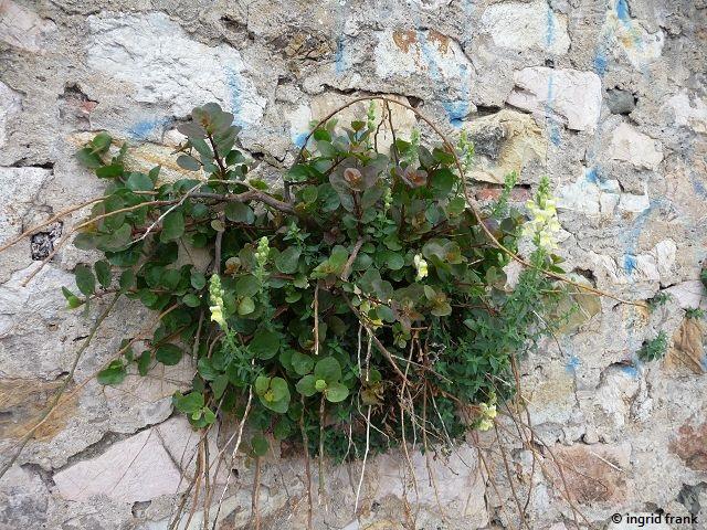 28.04.2016 - Mauer in Portoferraio (Insel Elba)