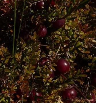 Vaccinium macrocarpon - Großfrüchtige Moosbeere, Cranberry
