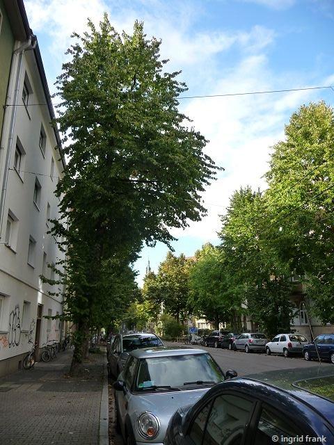 17.07.2017 - Straßenbaum in der Schillerstraße in Heidelberg