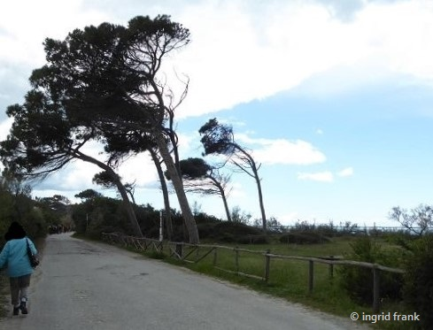 Pinus pinea - Pinie