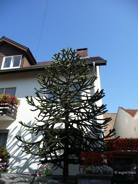 09.09.2012 - Vorgarten in Heidelberg-Handschuhsheim
