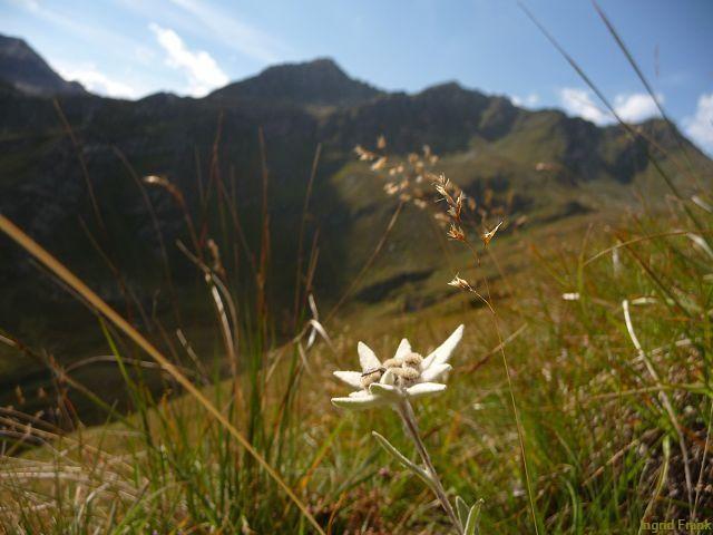 03.09.2011-Leontopodium nivale ssp. alpinum - Alpen-Edelweiß