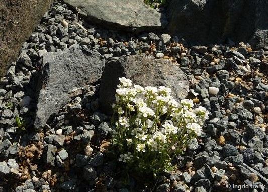 Draba spec. / Felsenblümchen-Arten Botanischer Garten Adorf im Vogtland)