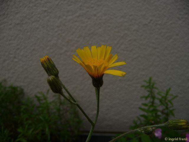 06.06.2015 - Erstmalig auf meiner Dachterrasse zum Blühen gekommen