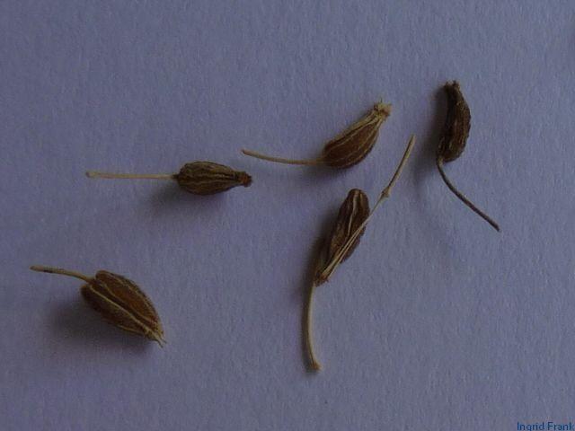 pimpinella spec bibernelle arten herbarium von. Black Bedroom Furniture Sets. Home Design Ideas