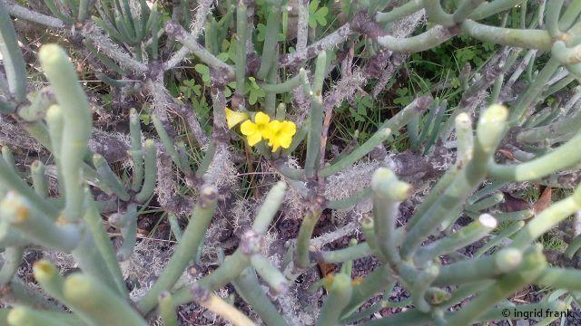 Euphorbia aphylla - Blattlose Wolfsmilch (Kanaren-Endemit)    III-VII