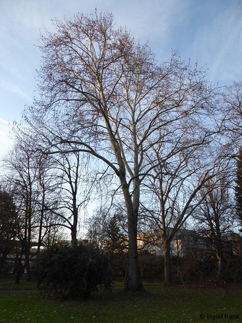 15.01.2020 - Botanischer Garten Universität Heidelberg; Mitte: Platanus orientalis; rechts daneben: Platanus occidentalis