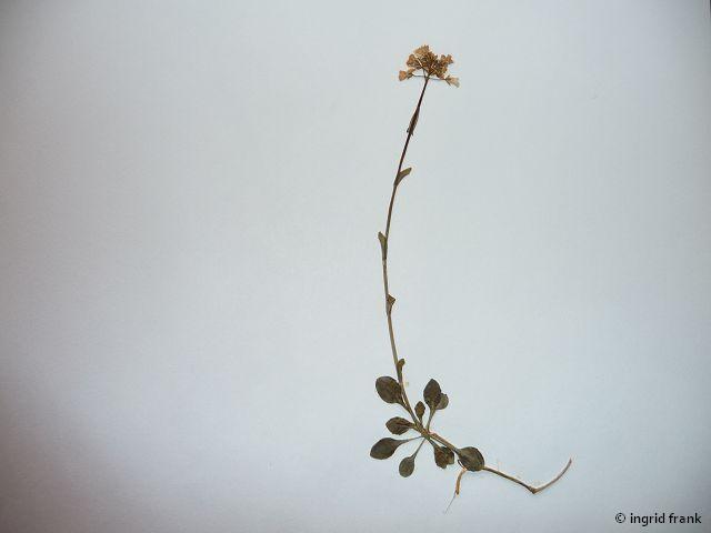 In meinem Herbarium von 1969; Nachtrag; Fundort: Schwäb. Alb bei Beuron, 1972
