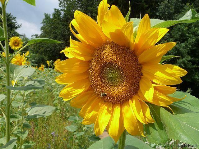 27.07.2010 - Sonnenblumenfeld bei Meckenbeuren im Bodenseekreis