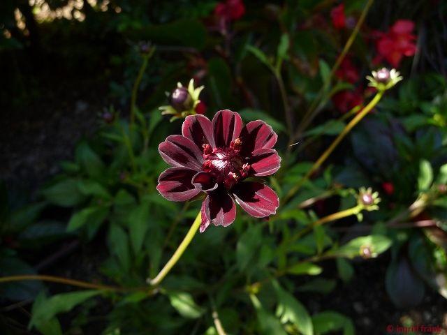 Cosmos atrosanguineus - Schokoladen-Kosmee (Familie: Korbblütler)