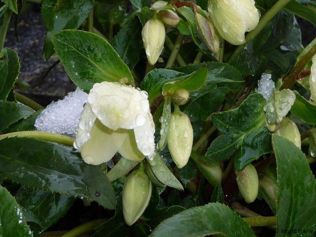 20.01.2015 - Als Zierpflanze auf dem Friedhof in Obereschach